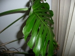 Monstera (Gatenplant)